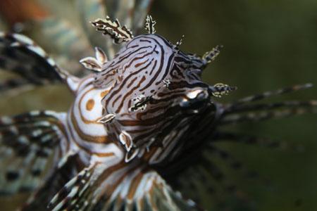 lion fish 7