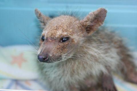 Kentucky Fried Chupacabra « Teaching Sapiens Raccoon With Mange